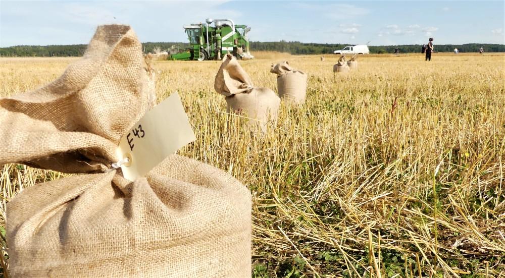 sampling wheat